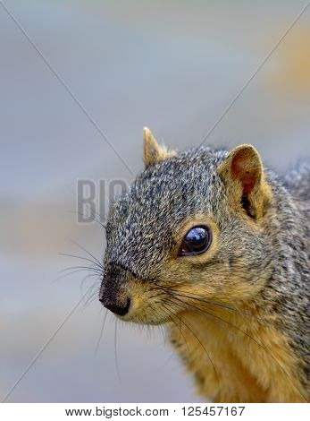 Closeup of Fox Squirrel looking toward left with copy space portrait orientation