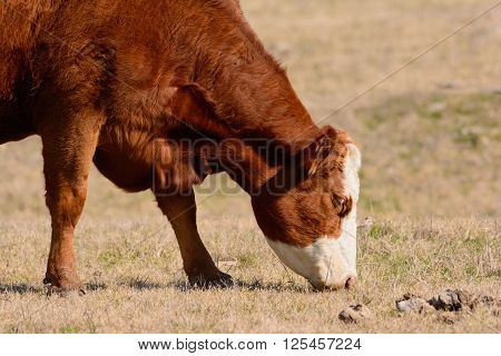 Hereford Cow Grazing with head down while facing to Right. Bright sunny day