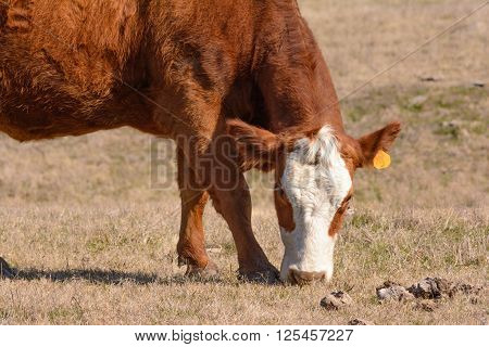 Hereford Cow Grazing with head down while facing forward . Pictured from shoulders down