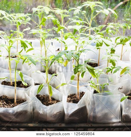 Green Seedlings Of Tomato Plant In Plastic Boxes