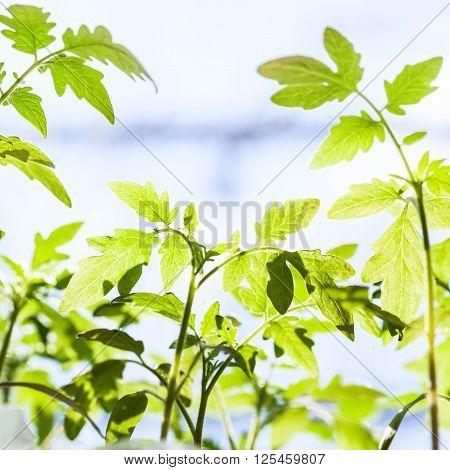 Many Seedlings Of Tomato Plant