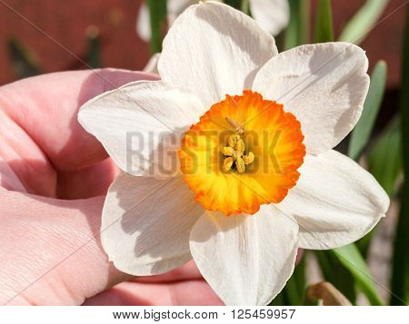 Hand Holds Narcissus Tazetta Cultivar Flower With Fly