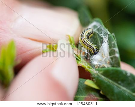 farmer removes the larva of insect pest (Cydalima perspectalis or the box tree moth) from boxwood leaves in garden poster