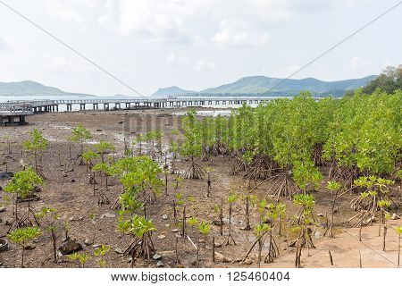 Green leaf mangrove trees grow on the wet brackish water beach or mangrove forest in Thailand.