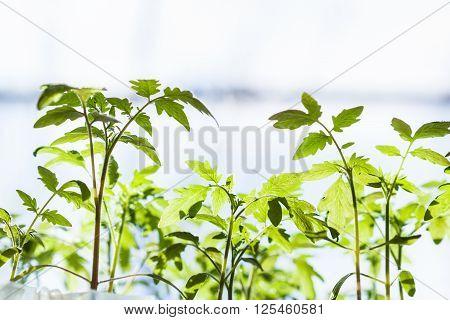 Many Shoots Of Tomato Plant