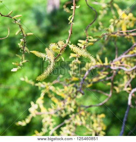 Flowering Yellow Catkins Of Willow Tree Close Up