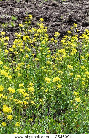 Yellow Flowers Of Canola