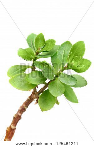 Kalanchoe branch macro isolated on white background