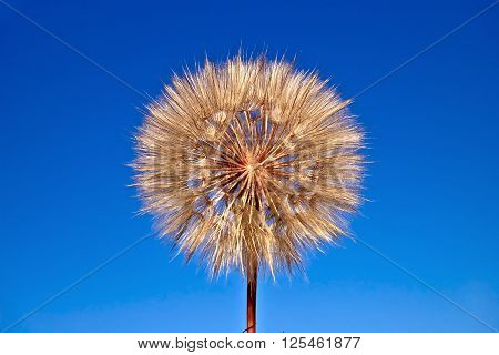 Tragopogon pratensis with flying seeds against the blue sky