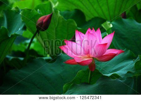 The beautiful blooming lotus in summer season
