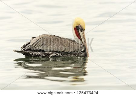 Pelican is a beautiful colorful pelican floating int he water with lovely detailed feathers and vibrant yellow and red markings.