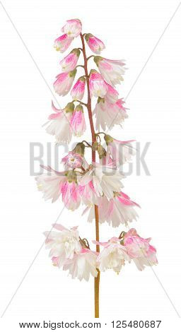 Fuzzy Deutzia Flowers Isolated On White Background