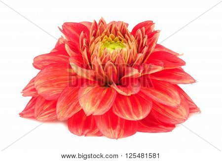 Red Dahlia Flower With Yellow Stripes Isolated On White Background