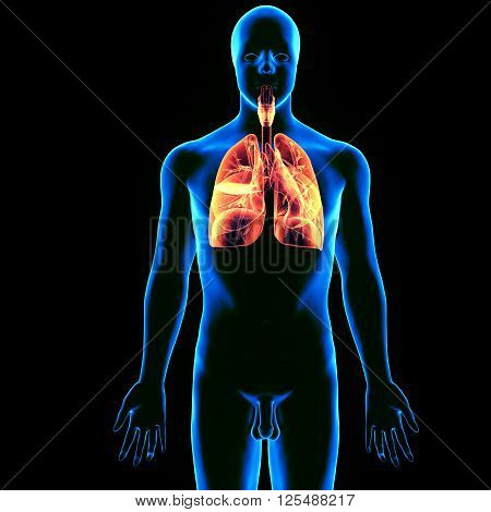 The lungs are the primary organs of respiration in humans and many other animals including a few fish and some snails. In mammals and most other vertebrates, two lungs are located near the backbone on either side of the heart.