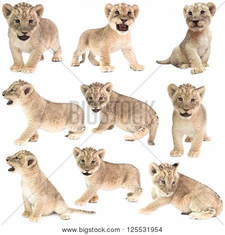 Baby Lion (panthera Leo) Isolated
