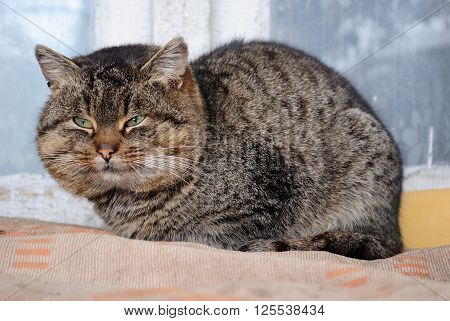chubby cat is resting after a meal