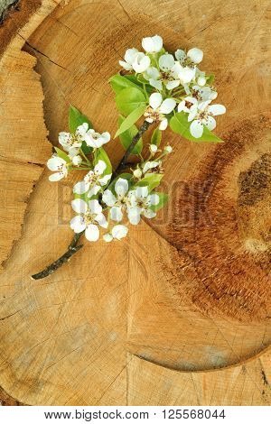 Oldschool vintage style cherry and pear branches flowers blossom in the springtime with brown wood boards