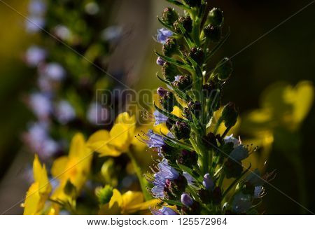 Echium wildflowers in full splendor, early spring, Canary islands