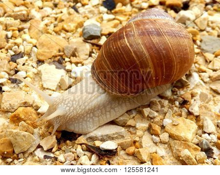 Roman snail (Helix pomatia) slithering along a gravel driveOLYMPUS DIGITAL CAMERA