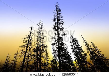 silhouettes of old conifer trees at beautiful sunrise