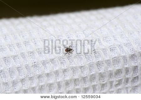 Tick searches for unprotected place on white clothes