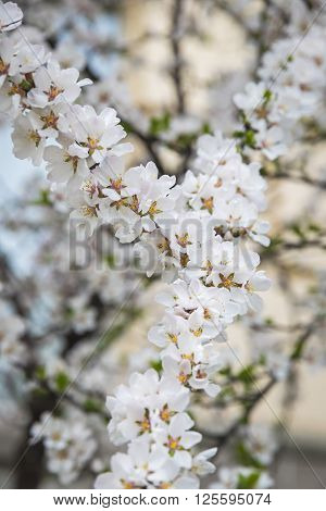 Flowers Of The Cherry Blossoms In Springtime
