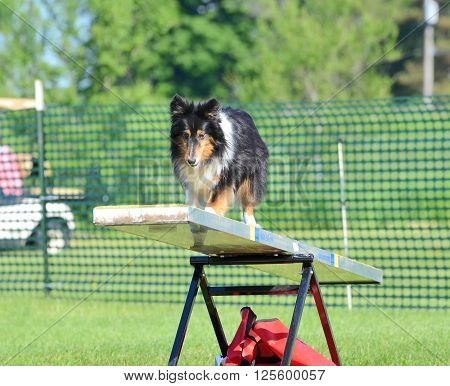 Tricolor Shetland Sheepdog (Sheltie) on a Teeter-Totter at Dog Agility Trial