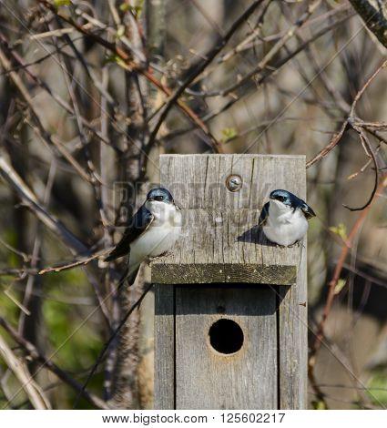 A pair of Tree Swallows (Tachycineta bicolor) sitting on a bird-box during nesting/mating season.