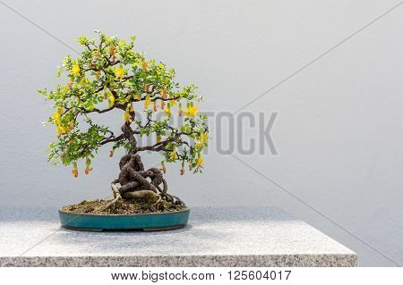 Chinese Peashrub Bonsai