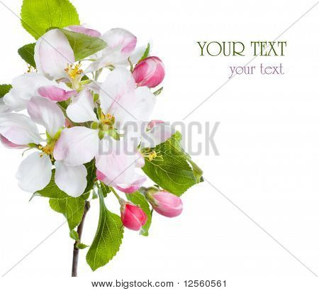 Closeup of Apple blossoms with sample text