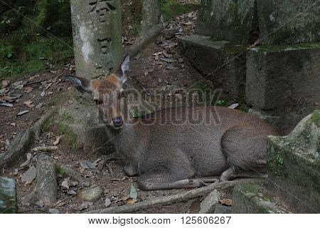 Deer reclines in the Nara Reserve, Japan