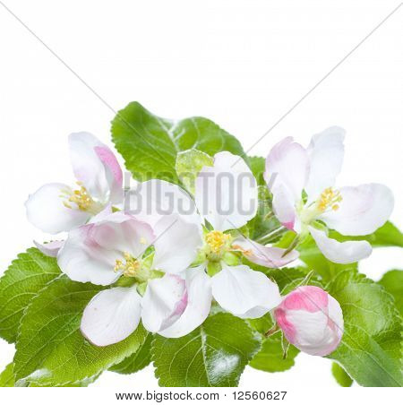 Beautiful Apple Blossoms Border
