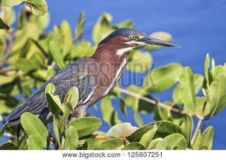 A green heron perches on limbs scanning the waters below for fish.