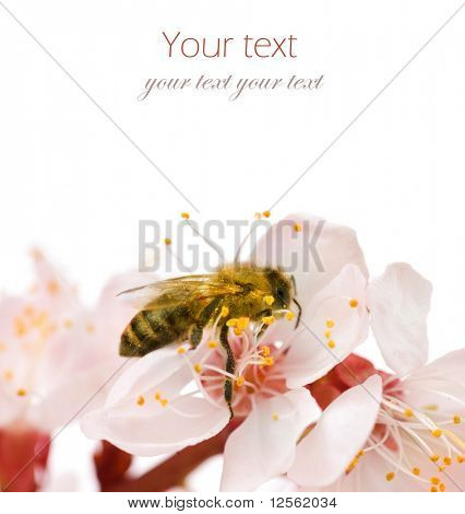 Bee on a flower.Studio isolated poster