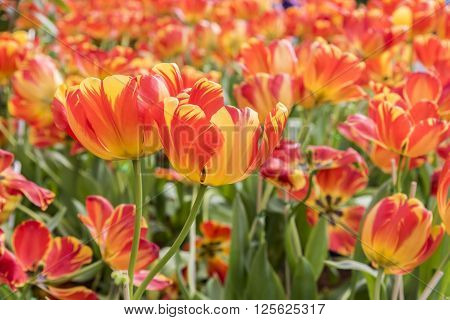 Orange yellow giant tulip in garden field Beautiful bouquet of giant tulips closeup colorful giant tulips in spring with soft focus