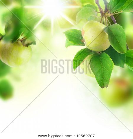 Beautiful Fresh Apples in orchard