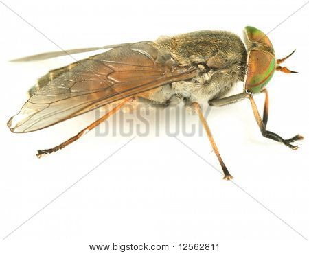 Gadfly closeup.Studio isolated poster