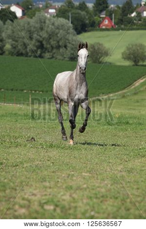 Amazing Young Horse Running On Pasturage