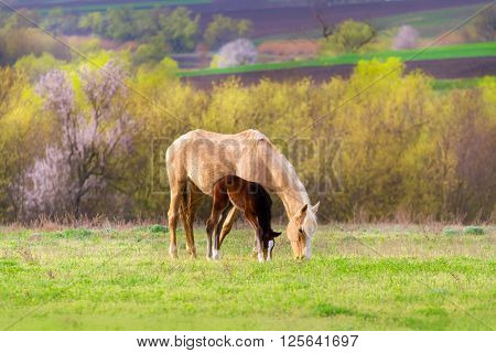 Foal with mare on pasture at spring day