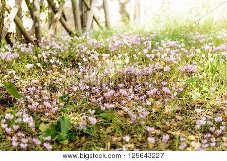 Cyclamens in Sardinia in slightly lit undergrowth. High blurs the edges.