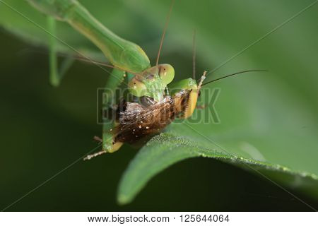 African green praying mantis (Sphodromantis lineola) eating a cockroach