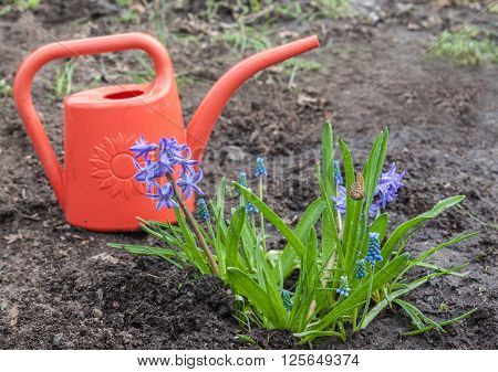 Blue hyacinths and muscari in a garden in early spring on a background of red watering can