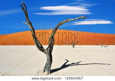 Dead Camelthorn Trees against red dunes and blue sky in Deadvlei Sossusvlei. Namib-Naukluft National Park Namibia Africa.