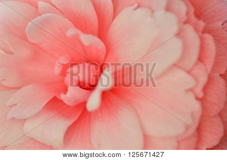 Bright Pink Japanese Camellia Flower In Bloom