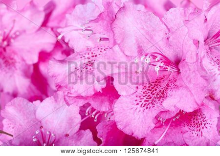 The Blossoming Flowers Of A Pink Oleander