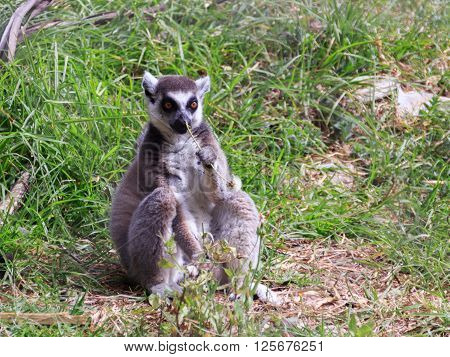 Lemur catta sitting in the grass and chewing on straw