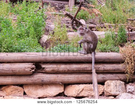 macaca fascicularis sitting on a log in the grass