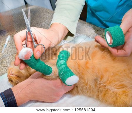 Wounded cat treated by veterinarians in clinic