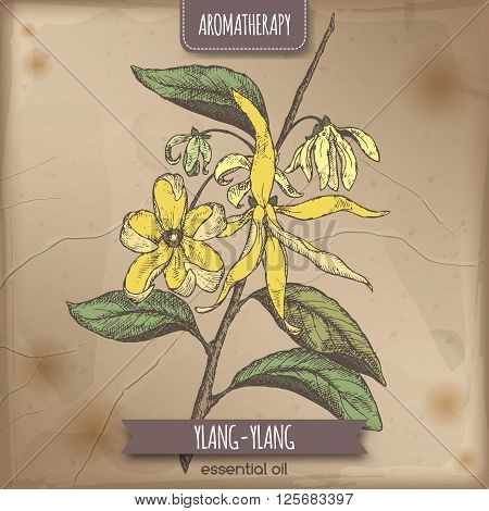 Cananga odorata aka ylang-ylang color sketch on vintage paper background. Aromatherapy series. Great for traditional medicine, perfume design or gardening.