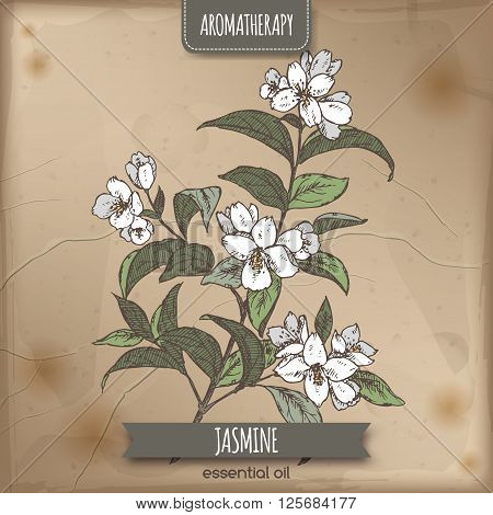 Jasminum officinale aka common jasmine color sketch on vintage paper background. Aromatherapy series. Great for traditional medicine, perfume design, cooking or gardening.